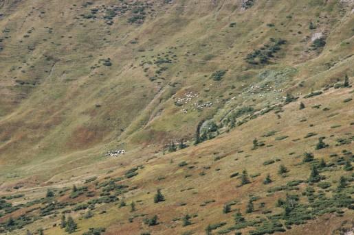 Отара овец на полонине Ярошеская