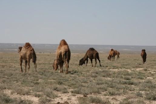 Верблюды - корабли пустыни
