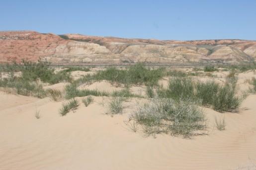 Песчаные барханы с молодыми кустами саксаула
