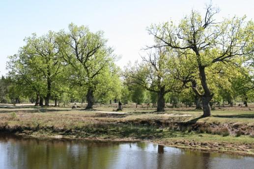 На берегах рек можно встретить реликтовые дубовые рощи
