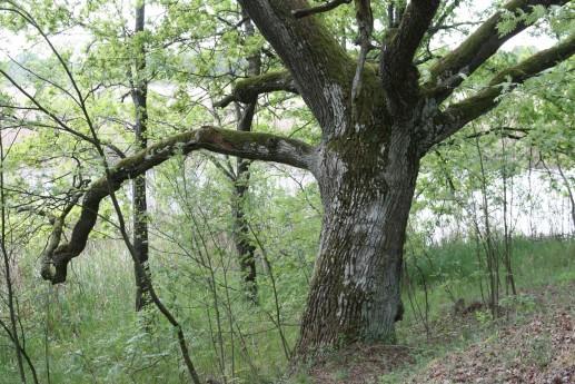 Старый дуб на берегу реки Припять в районе урочища Муравина